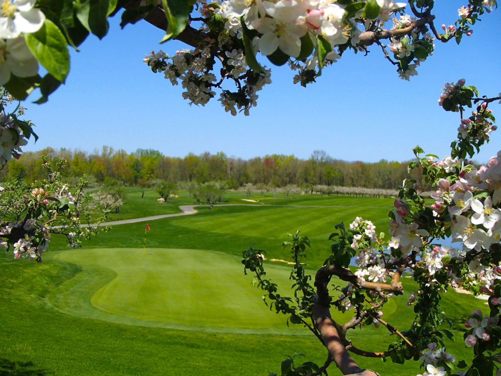 Looking through a flowering tree at a green and fairway at Apple Greens Golf Course